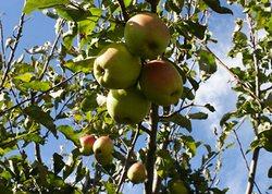 яблоня, дерево, яблоки