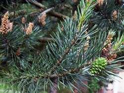 сосна, дерево