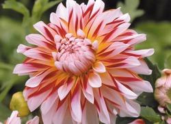 цветок, георгин, сад
