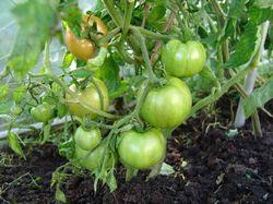 помидоры, сад