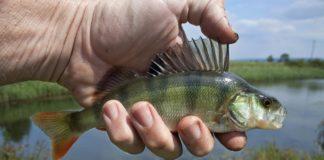 рыба, рыбалка, речная рыба